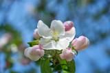 Fototapeta Kwiaty - Kwiaty jabłoni w pełnym rozkwicie w piękny słoneczny dzień