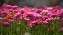 Persian Buttercup Flowers Pink...