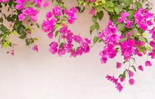 Summer Greek Bougainvillea Flowers On White Wall