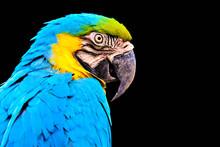 Macaw Isolated On Black Background
