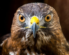 Broad Winged Hawk Portrait