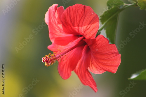 Fototapety, obrazy: hibiscus flower on green background
