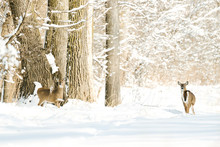Two White-tailed Deer Standing In A Snowy Winter Forest