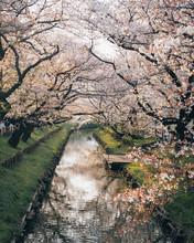 Cherry Blossom River In Tokyo Japan Sakura