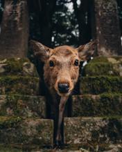 Nara Park Deer Japan