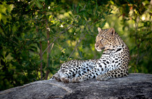 A Leopard, Panthera Pardus, Lies Down On A Boulder, Head Upright, Looking Out Of Frame, Green Background ,Londolozi Game Reserve