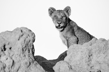 A Lion Cub, Panther Leo, Sits On A Termite Mound, Direct Gaze, Mouth Open, In Black And White  ,Londolozi Game Reserve