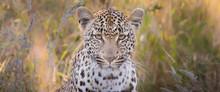 A Leopard's Head, Panthera Par...