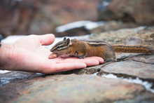 Side View Of Least Chipmunk, Tamias Minimus, Eating From Hand