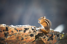 Least Chipmunk, Tamias Minimus...
