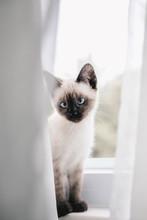 Siamese Kitten In Window
