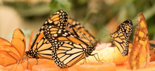 Beautiful Butterflies Eating Sugar From Fuits In A Bowl