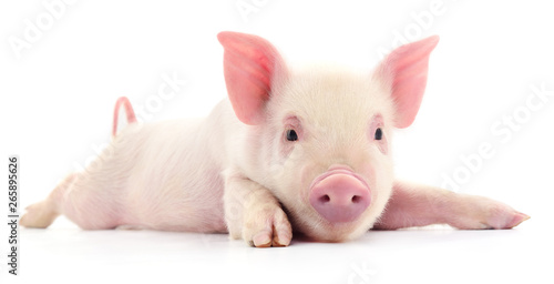 Pig on white. Canvas Print