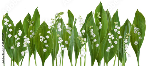 Poster Lelietje van dalen Beautiful fresh lily of the valley in a row isolated on white can be used as background