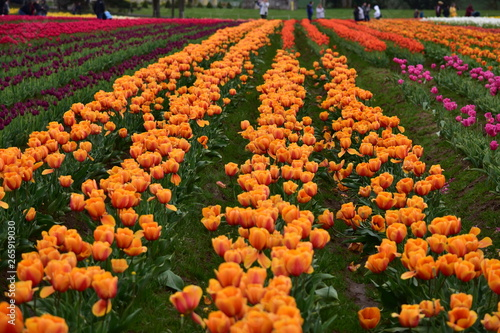 Woodburn, Oregon, USA - April 14, 2018: Tulips at Wooden Shoe Tulip Festival in Woodburn Oregon