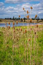 Wild Teasel At Fishtrap Recreation Area