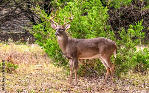 Poster Deer Whitetail Buck 78