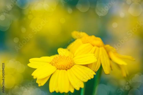 Obraz na plátně  flores amarillas en el campo
