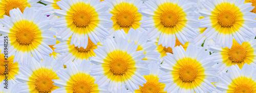 Fotografie, Obraz  fondo de margaritas blancas