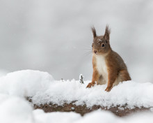 Red Squirrel On Snow Covered Log