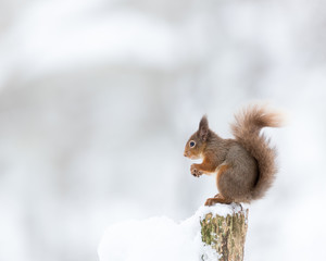 Red Squirrel Perched on a stump with snow white background. Taken in the Cairngorms National Park, Scotland.