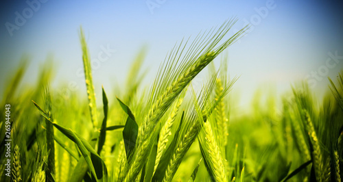 green wheat field Poster Mural XXL