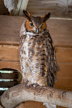 A Rescued Great Horned Owl In ...