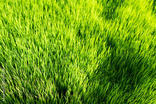 Foto auf AluDibond Grun Meadow green rice agriculture landscape use for wallpaper and backdrop.