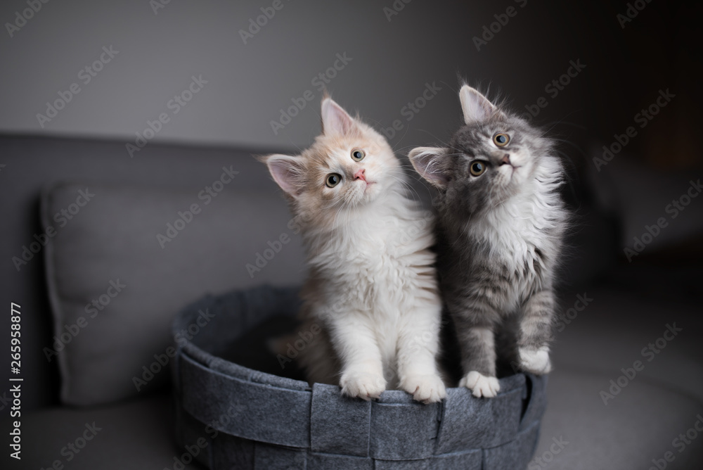 Fototapeta two playful maine coon kittens standing in pet bed looking into the light  source curiously and  tilting their heads simultaneously