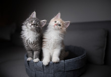 Two Playful Maine Coon Kittens...