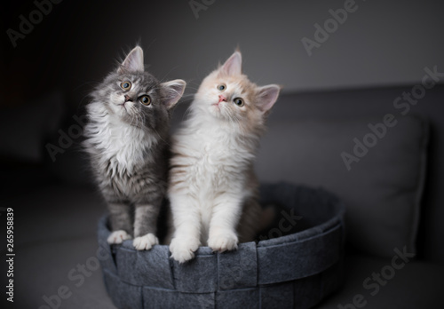 Canvas-taulu two playful maine coon kittens standing in pet bed looking into the light source