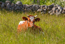 Horned Cow Lying Down In The G...