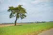 drzewo na polu, pojedyncze drzewo, drzewo, jedno drzewo, samotne drzewo, pole, pola