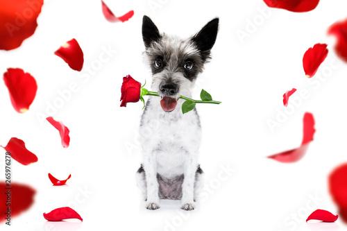 Fotobehang Crazy dog valentines dog with rose
