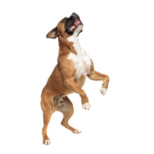 Eager Playful Little Boxer Standing On His Rear Paws