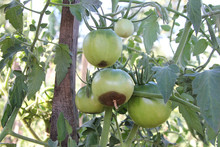 Tomatoes Disease. Blossom End Rot. Vegetables Are Rotting On The Branch. The Green Tomatoes Are Damaged