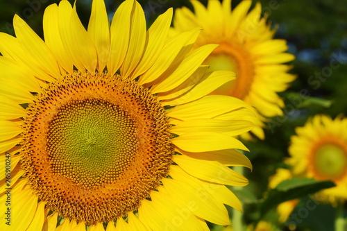In de dag Zonnebloem beautiful sunflower blossom blooming in natural garden