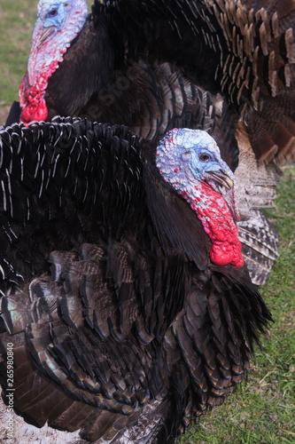Fényképezés  Turkey bird