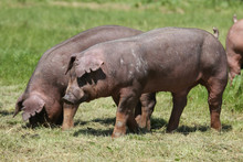 Closeup Of A Young Duroc Pigs ...
