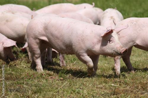 Cadres-photo bureau Olive Pigs farming raising breeding in animal farm rural scene