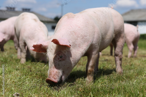 Cadres-photo bureau Olive Group photo of young piglets enjoying sunshine on green grass near the farm
