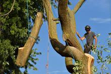 Arborist Dismantling Tree, Hol...