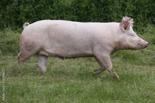 Fotografie, Obraz  Young pig running on the summer meadow