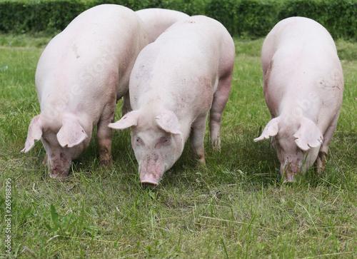 Obraz na plátně  Closeup of a cute young pigs on animal farm outdoor