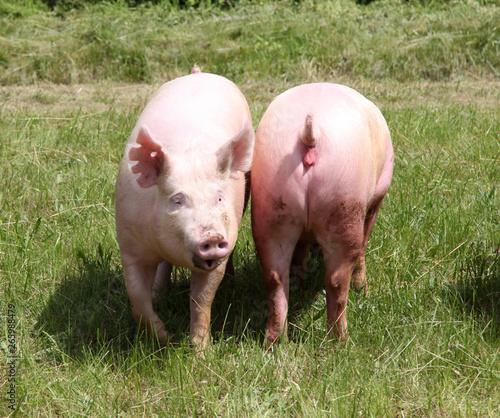 Fotografie, Obraz  Two of growing domestic pig enjoying the sunshine on summer animal farm