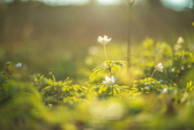 Early Spring Thimbleweed, Anem...