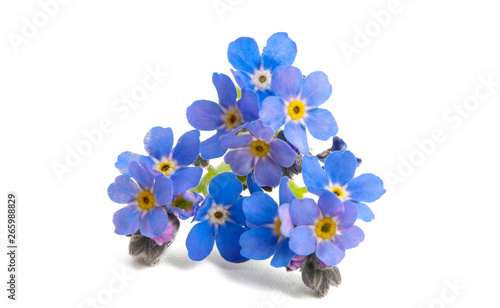 forget-me-not isolated - 265988829