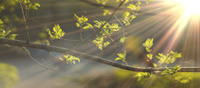 Close Up Photo Of Young Fresh Juicy Leafs Of A Tree In The Summer Season Covered With Sun Beam