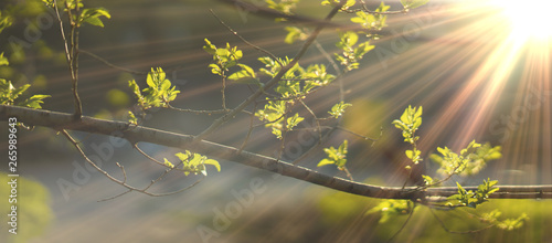 Obraz close up photo of young fresh juicy leafs of a tree in the summer season covered with sun beam - fototapety do salonu