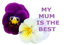 Greeting Card With The Words My Mum Is The Best, Horned Pansy Isolated On White, Appreciation For Your Mother Love Feelings Compliment, Conceptual Photo
